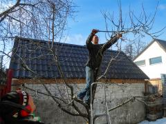 PRUNING Rejuvenation REMOVAL of old branches of tree cut down